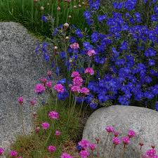 alpine and rock gardening guide