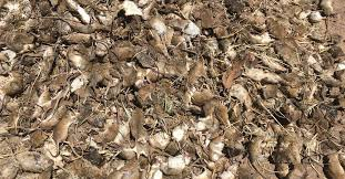Farmers to get access to free poison to tackle mouse plague