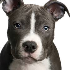 pitbull puppies. Delighful Pitbull Pit Bull Puppies Need The Same Training And Socialization As Any Puppy  There Are Some Additional Steps You Can Add To Your Schedule For These  Throughout Pitbull Puppies S