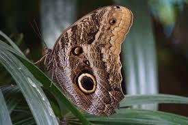 Caligo memnon Foto & Bild   tiere, zoo, wildpark & falknerei, natur Bilder  auf fotocommunity