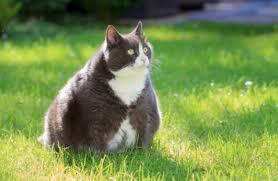 faire maigrir un chat avec des courgettes