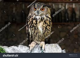 <b>Cute Lovely Owl Bird</b> Zoo Stock Photo (Edit Now) 752041495