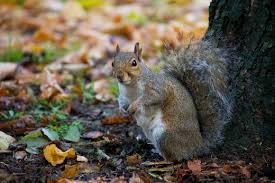 Grey Squirrel Age Chart How To Care For Abandoned Baby Squirrels And Release Them