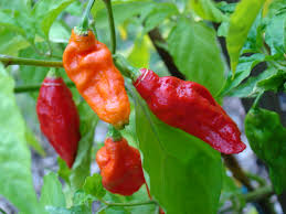 Ghost Pepper Chart Bhut Jolokia Wikipedia