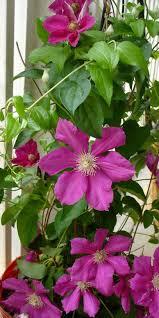 flowering vines how to choose plant