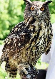 Птица Филин