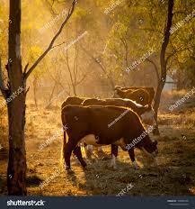 Light Livestock Cattle Sunlight Evening Light Streams Through Stock Photo
