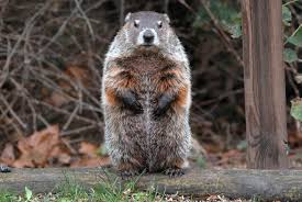 Image result for woodchuck