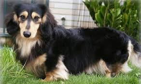 long haired dachshund pictures