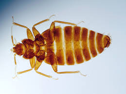 how bed bugs spread and how to prevent it