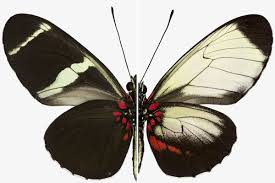 Butterfly Patterns Stunning Secrets Of Butterfly Wing Patterns Revealed By Gene Hacking New