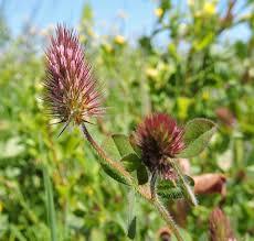 Trifolium ligusticum