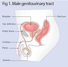 Bladder Catheterisation Urinary Catheters 1 Male Catheterisation Nursing Times