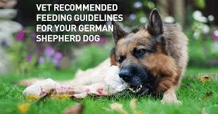 German Shepherd Puppy Food Chart Vet Recommended Feeding Guidelines For Your German Shepherd
