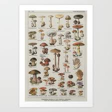 Vintage French Mushroom Identification Chart Art Print By Wilsongraphics