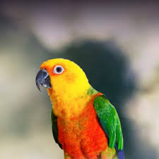 Jenday Conure Personality Food Care Pet Birds By