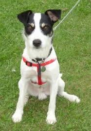 jack russell terrier border collie mix. Contemporary Terrier Border Jack Collie  Jack Russell Terrier Mixed  Throughout Mix