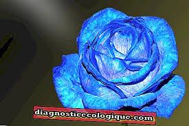 Modrá Růže Význam
