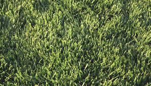 How To Identify Weeds In St Augustine Grass Garden Guides