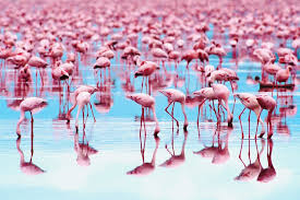 pictures of flamingos to color. Fine Color Flamingoes Get Their Pink Or Orange Color From The Carotenoid Pigments  Found In Foods They Eat Eric Meola  Getty Images For Pictures Of Flamingos To Color