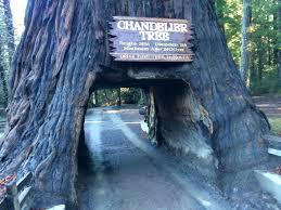 chandelier tree california world famous chandelier tree curiosities chandelier drive thru tree underwood park ca chandelier tree california