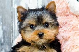teacup puppy yorkie. Interesting Puppy For Teacup Puppy Yorkie U