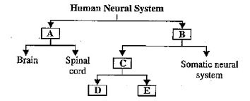 Cns Pns Chart The Flow Chart Given Here Shows Functional Organization Of
