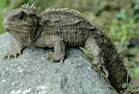 Small Picture Tuatara The Animal Facts