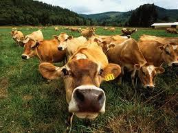 Курсовая Рентабельность производства продукции животноводства и  Курсовая Рентабельность производства продукции животноводства и пути ее повышения Экономика организаций АПК