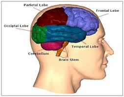 brain wiring diagram wiring diagram and schematic design first wiring diagram of mouse brain created d brief