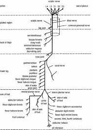 Sciatic Nerve Flow Chart Image Result For Sciatic Nerve Branches In 2019 Sciatic