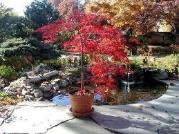 Small Picture Potted Laceleaf Japanese Maple Patio Pinterest Japanese