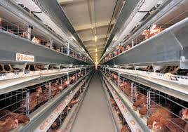 A Guide To World Poultry Egg Layer 2012 Market Economic