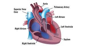 Cardiac Anatomy Chart The Human Heart Anatomy Passage Of Blood Teachpe Com