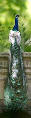 Peacock at Furlow Gatewood estate. Photo by Rod Collins