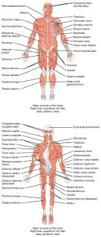 11 2 Naming Skeletal Muscles Anatomy And Physiology