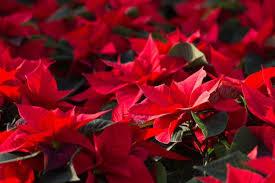 Saison Für Weihnachtssterne Ist Gestartet Bildderfraude