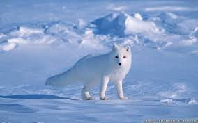 Image result for arctic fox