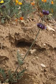 Salvia columbariae - Wikipedia