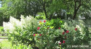 Small Picture White Persicaria and Red Roses Journal Garden Design Montreal