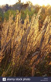 dry grass field background. Close-up Dry Grass Field Over The Setting Sun Background