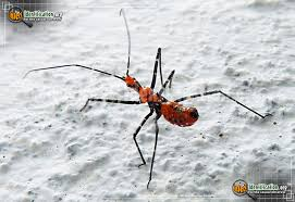 Bug Id Chart Assassin Bug Insect Identification