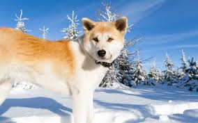 Download wallpapers Akita, big dog, pets, Japanese dogs, winter, snow, Japan, 4k for desktop free. Pictures for desktop free