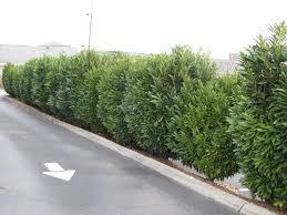 Schipka laurel (Prunus laurocerasus 'Schipkaensis') is a dense growing  evergreen shrub