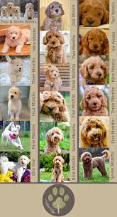 Amazing Resource About Goldendoodle Growth And Pictures Of
