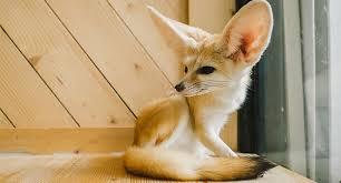 fennec fox. Brilliant Fox Sonia Sae And Jumanji The Fennec Fox And Fennec Fox