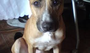 bull terrier german shepherd mix. Contemporary Shepherd Jessie Is A Pretty 13 Month Old Female German Shepherd Cross Staffordshire Bull  Terrier Who Looking For New Home Since She Was Abandoned By Her Owners Inside Mix