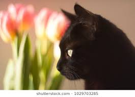 Image result for black cats with tulips