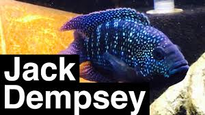 Jack Dempsey Fish Facts Growth Tank Size
