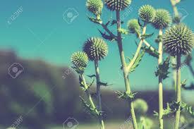 夏の朝に咲くアザミの花クロス処理 ロイヤリティーフリーフォト